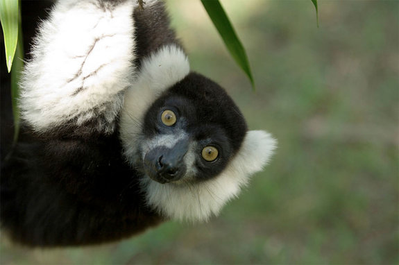 black-white-ruffed-lemur