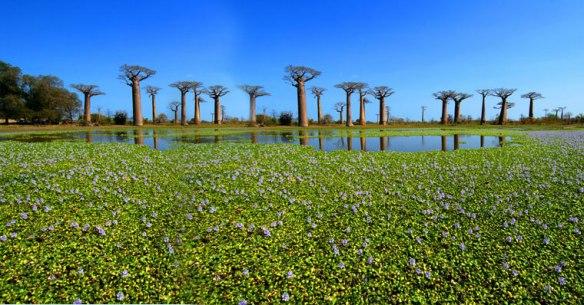 madagascar-baobab
